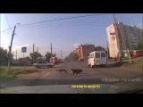 Омские собаки продолжают подавать пример пешеходам